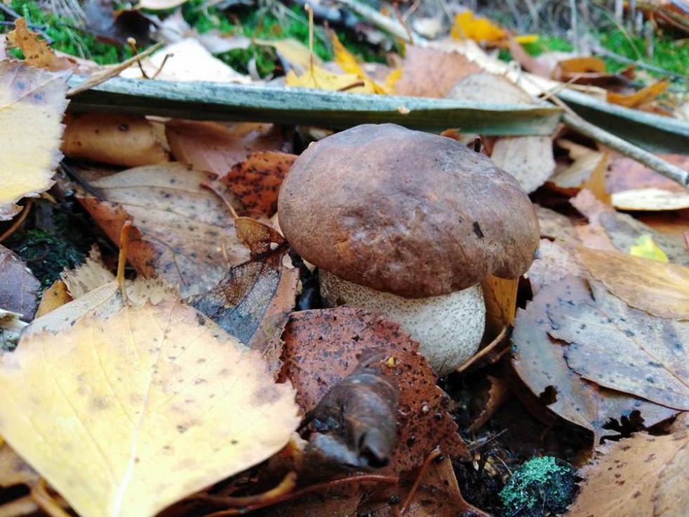 Маневичанин показав світлини останніх осінніх грибів у Чехії