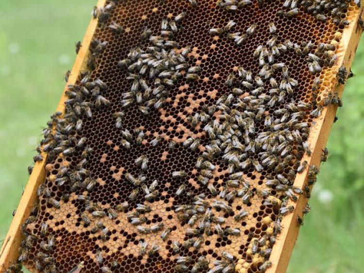 У Галузійському лісництві заготовлятимуть елітний сорт меду