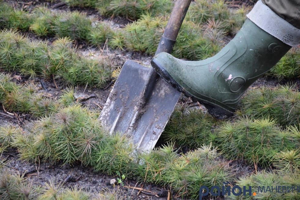 У Маневицькому районі розпочали лісокультурну кампанію