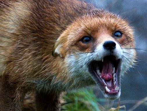 У Маневицькому районі реєструють випадки захворювання на сказ серед тварин