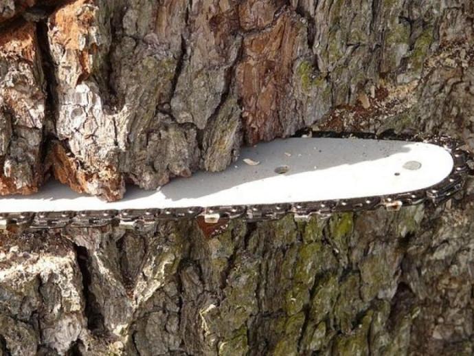 Жителя Чорнижа судитимуть за незаконну вирубку лісу