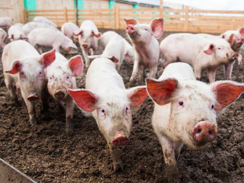 Підприємство з Маневиччини – у ТОП-55 найпотужніших промислових свиногосподарств України
