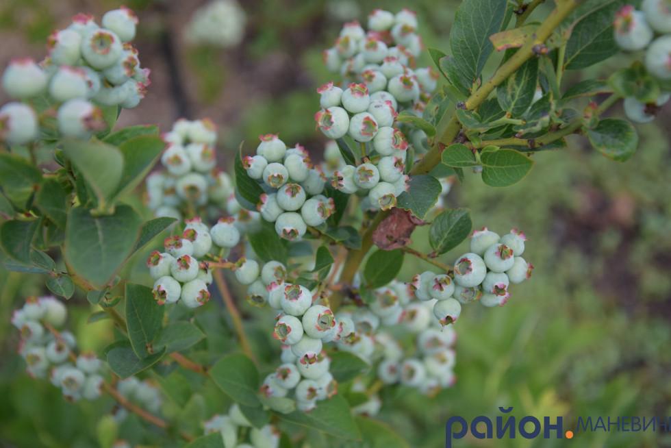 Як у Маневицькому лісовому господарстві вирощують 1500 кущів лохини та реалізовують її