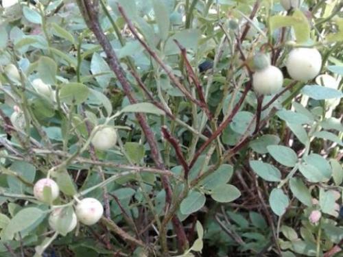 У лісах Маневиччини ростуть чорниці-альбіноси