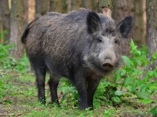 Держпродспоживслужба: на Волині відстріляли майже 30 диких кабанів