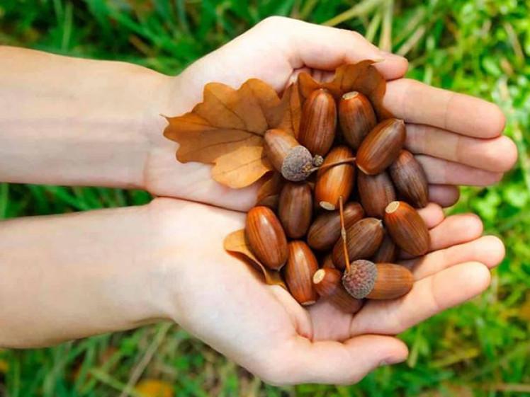 На Маневиччині розпочали заготівлю дубового жолудя