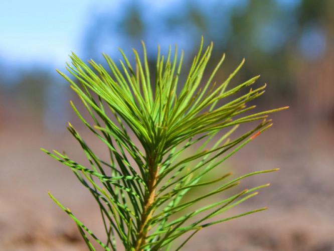 На Маневиччині виростили близько мільйона сіянців лісоутворючих порід