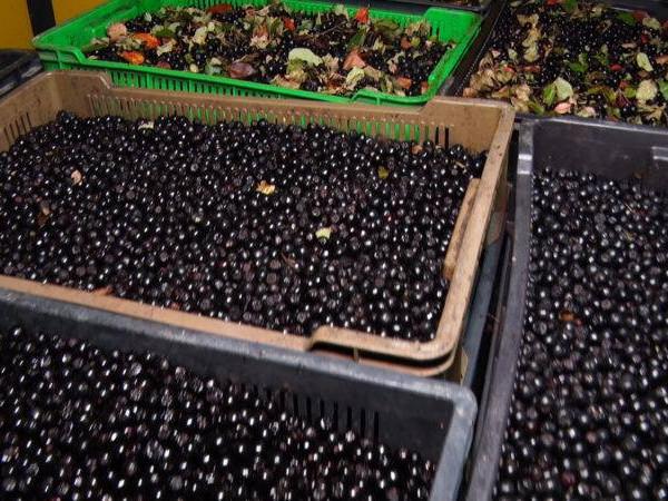 На Маневиччині завершують заготівлю недеревних продуктів лісу