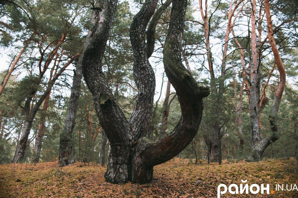 Середній вік дерев в урочищі – до двохсот років